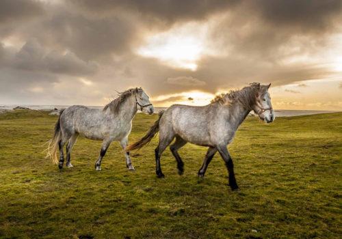 connemara-ponies