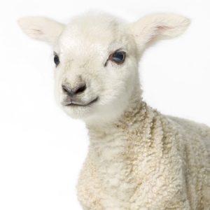 Lamb-2(smile)