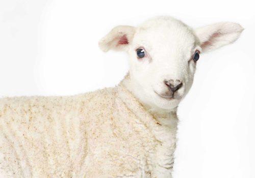 Lamb-3