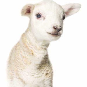 Lamb-4