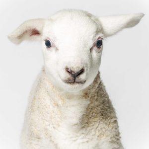 Lamb-5(smaile)