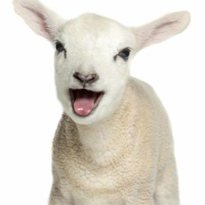lamb-8A