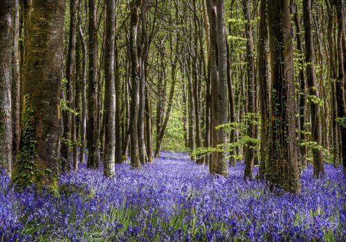 Bluebell-WoodsAvenue